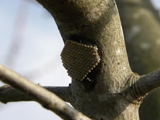 Insect Eggs on Maple Tree - Arilus cristatus