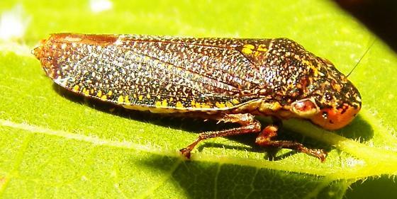 Leaf hopper 061014 - Paraulacizes irrorata