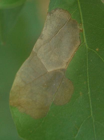 Lake Crabtree leaf miner on Quercus nigra D1050 2018 1 - Brachys