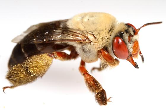 Red-legged Centris? - Centris rhodopus