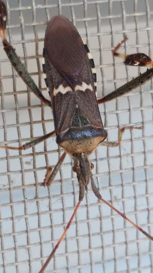 Please Identify  - Leptoglossus clypealis