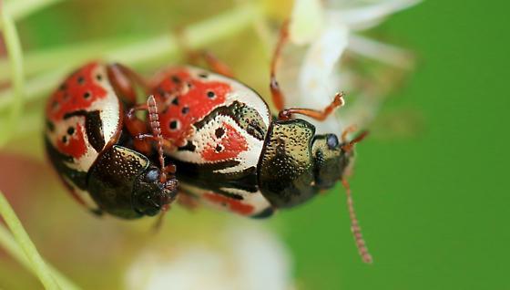 Calligrapha spiraea? - Calligrapha spiraea - male - female