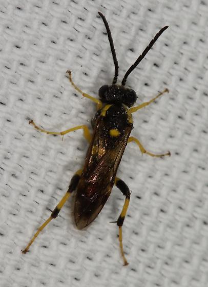 Unk insect - Macrophya bifasciata
