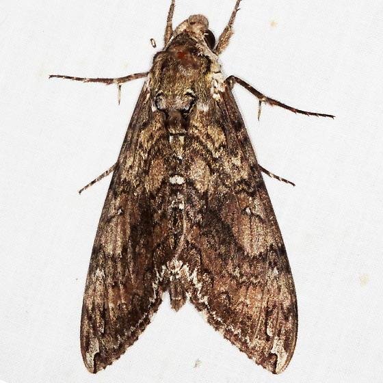Carolina Sphinx Moth - Manduca sexta