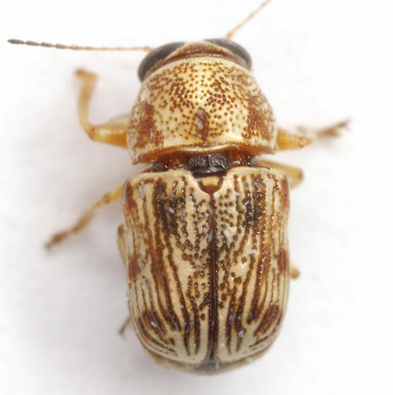 Pachybrachis tacitus Fall - Pachybrachis tacitus