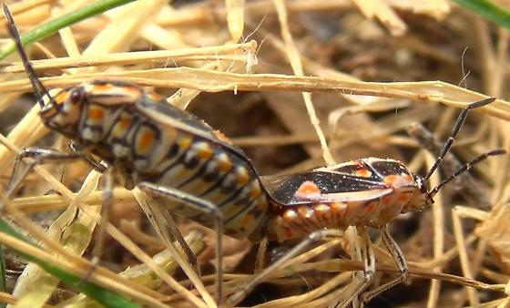 Sexing a Bagrada Bug - Bagrada hilaris - male - female