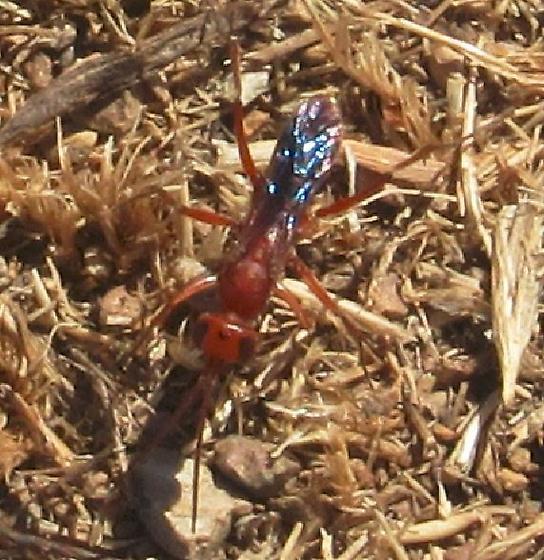 hymenopteran in Coyote Hills Regional Park on 2020 May 25 - Ageniella