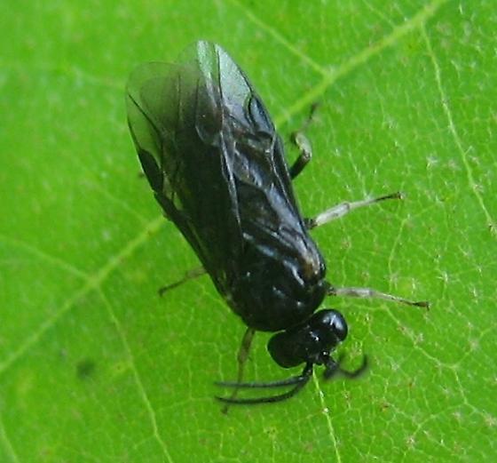 Argid - Sphacophilus cellularis - male
