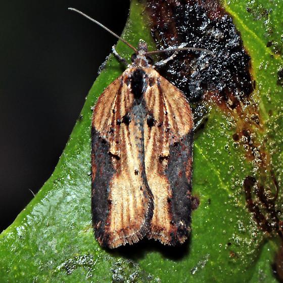 Acleris robinsoniana