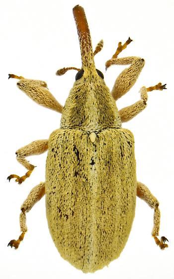 Anthonomus sphaeralciae? - Anthonomus
