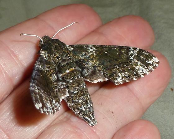 Pawpaw Sphinx Moth? - Dolba hyloeus
