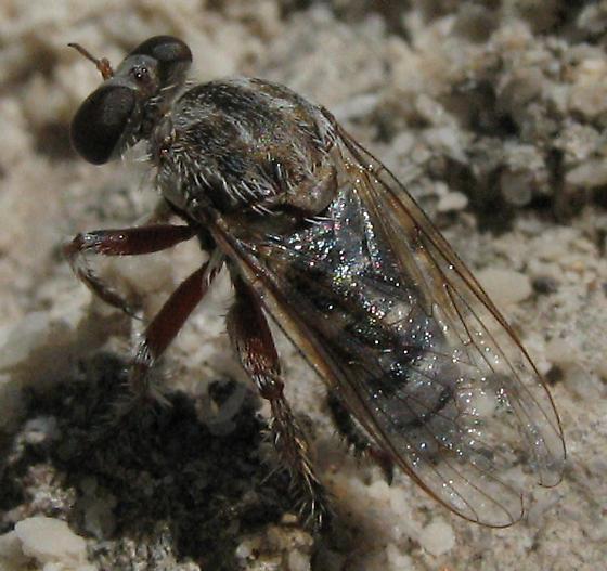 Robber fly - Hodophylax aridus - male