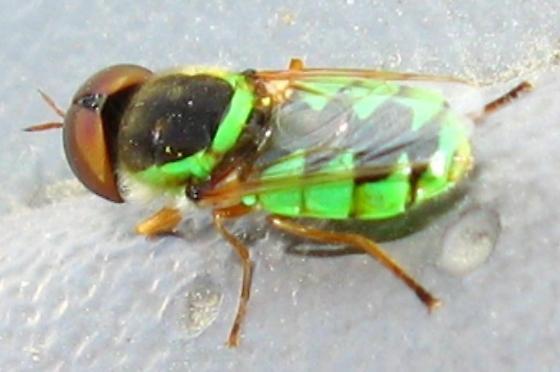 Odontomyia? - Odontomyia cincta - male
