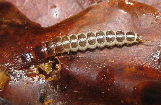 Carabid larva