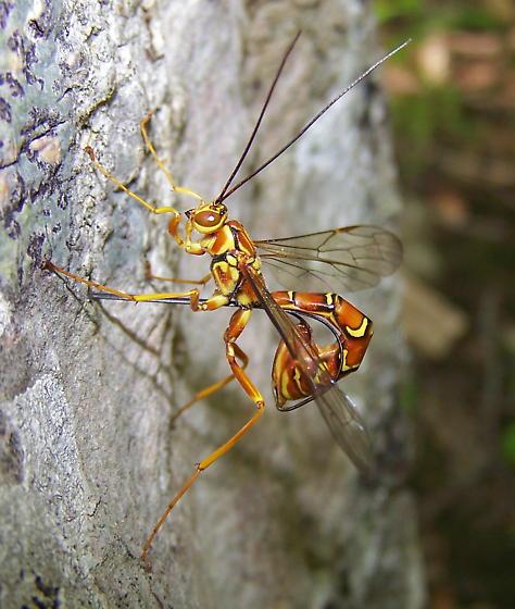 Megarhyssa greenei - female