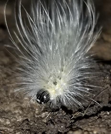 Too common to ID? - Hyphantria cunea