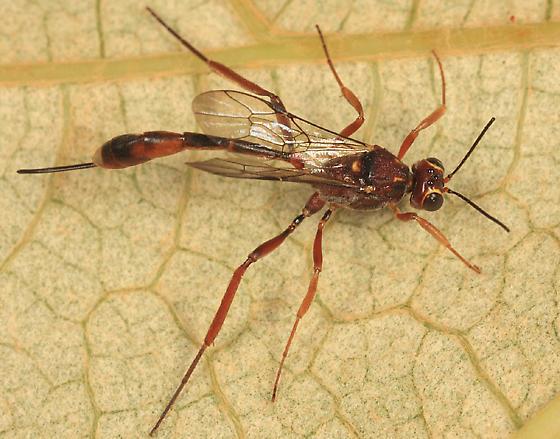 Ichneumon - Anomalon ejuncidum - female