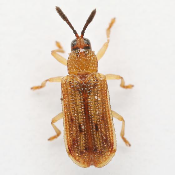 Sumitrosis pallescens (Baley) - Sumitrosis pallescens