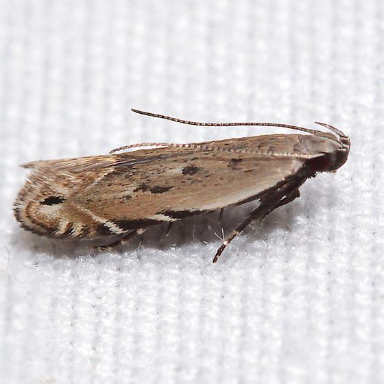 Battaristis nigratomella
