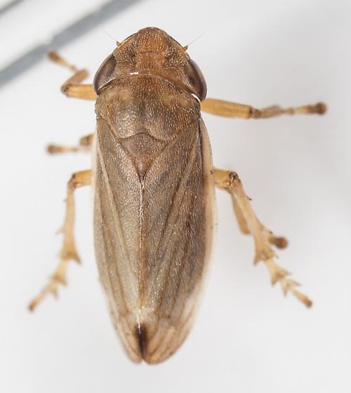Spittlebug - Neophilaenus lineatus - male