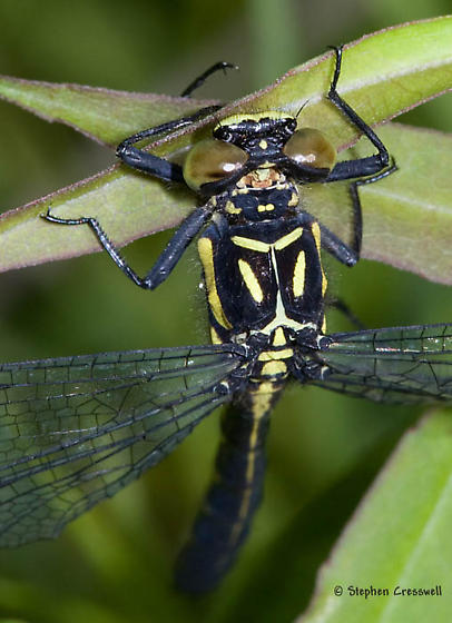 Pygmy Clubtail from Shaver's Fork area - Lanthus vernalis
