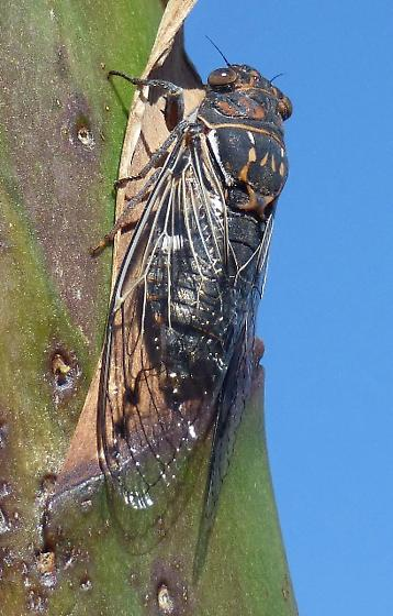 cicada, black, brown markings - Hadoa duryi