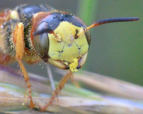 Wasp ~14mm, Philanthus? - Philanthus gloriosus - female