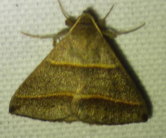 Ptichodis vinculum – Black-tipped Ptichodis Moth - Ptichodis vinculum