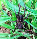 Spider id please - Tigrosa