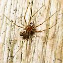 Sheetweb Spider - Drapetisca alteranda - male