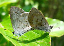 Mating Butterfly Couple - Celastrina ladon - male - female
