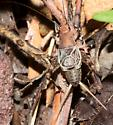 Cricket - Hoplosphyrum boreale - male
