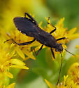 A beetle(?) getting nectar from goldenrod - Alydus eurinus