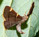 Juvenile Moth ? - Hypsopygia olinalis