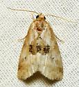 Three eyed moth - Hyperstrotia secta