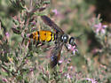 Yellow and black Wasp - Campsomeris tolteca - female
