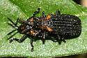 red-shouldered beetles - Odontota scapularis
