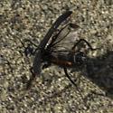 Large beetle wasp mimic  - Phodaga alticeps
