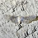 unknown - Paramysidia mississippiensis