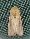 Texas SE Gulf Coast - Leucania scirpicola