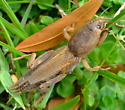 Mole cricket - Neoscapteriscus vicinus - female