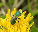 female Augochloropsis ? - Augochloropsis metallica