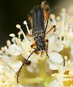 Flower beetle? - Callimus cyanipennis