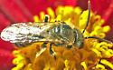Bee on coreopsis