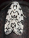 Moth to porch light - Polygrammate hebraeicum