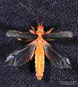Tenebrionoidea ? - Pacificanthia rotundicollis