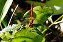 red dragon?Sympetrum species - Sympetrum vicinum
