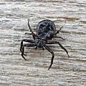 crab spider - Coriarachne brunneipes