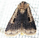 Moth with a fur cape - Feltia subterranea