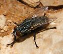 unidentified Diptera